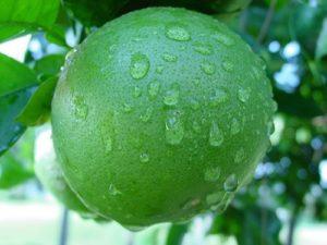 Gesunde grüne Frucht
